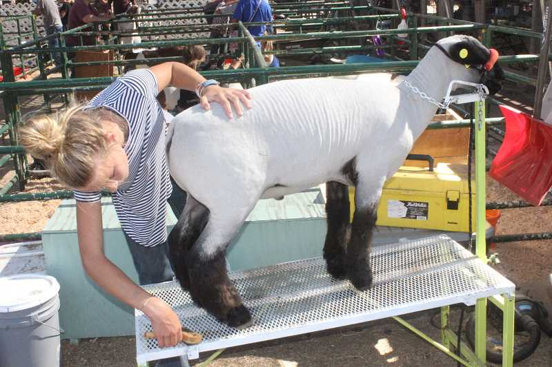 SUSAN MATHENY/MADRAS PIONEER - Majia Poland, 12, works on fitting her sheep before the Saturday auction at the Jefferson County Fair.