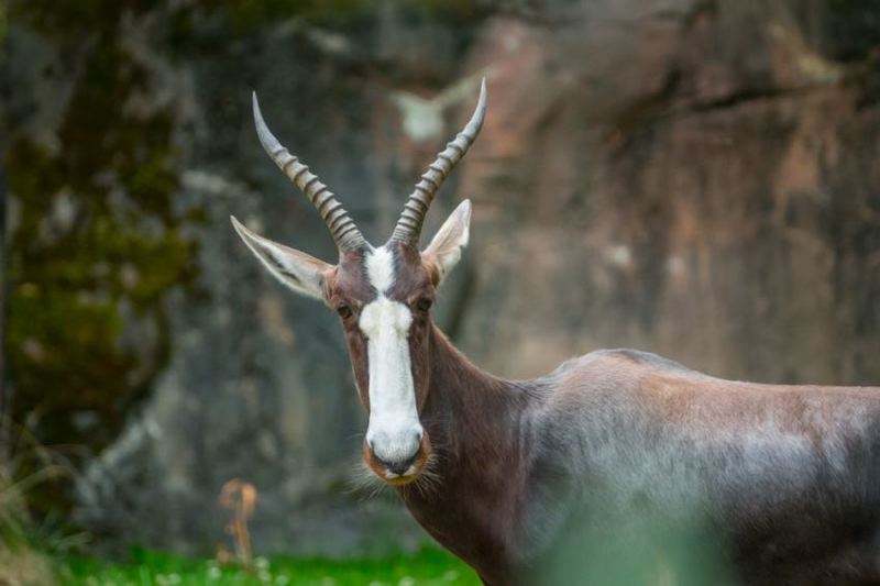 COURTESY: KATHY STREET/OREGON ZOO - Winter, a female bontebok, represents a successful conservation story.
