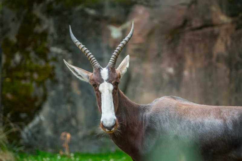 PHOTO BY KATHY STREET, COURTESY OF THE OREGON ZOO. - Winter, a female bontebok, represents a successful conservation story.