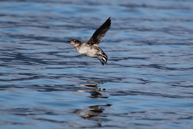 PHOTO BY ROBIN CORCORAN, USFWS - Five conservation groups say the state is not doing enough to protect the marbled murrelet from possible extinction.