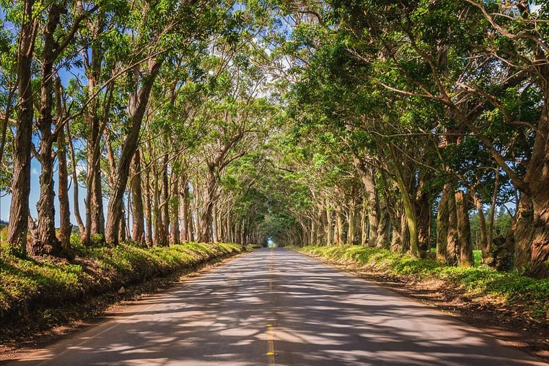 CONTRIBUTED PHOTO: LILA REED - Five hundred Eucalyptus trees form a unique tunnel over the road between Koloa and Poi Pu. The area was gifted to the community in 1911.