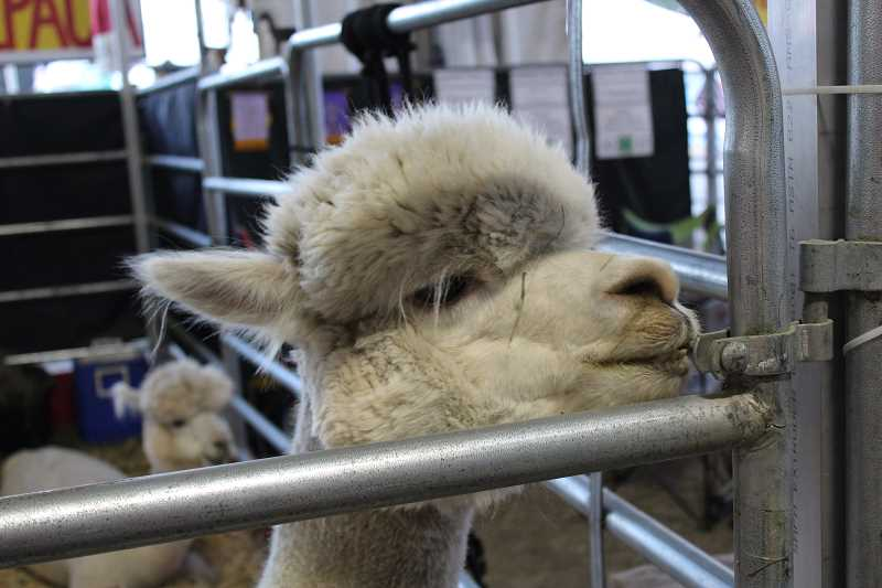 HERALD PHOTO: KRISTEN WOHLERS - This handsome llama can't wait for the llama obstacle course.