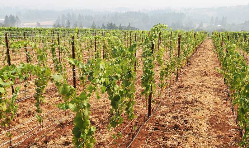 SUSAN BRANNON - Thick haze from the region's wildfires continue to plague area vineyards and may taint the wine made from this year's harvest.