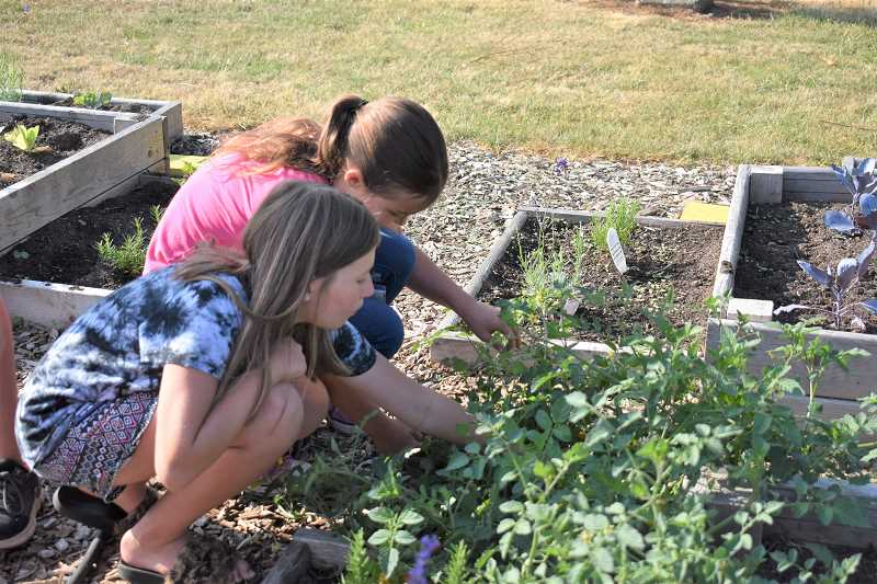 ESTACADA NEWS PHOTO: EMILY LINDSTRAND - Summer Academy students tend to a garden at River Mill Elementary School on Friday, Aug. 17.