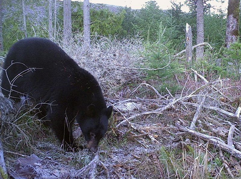 CONTRIBUTED PHOTO: OREGON DEPARTMENT OF FISH AND WILDLIFE - Oregon's black bear population is around 30,000, with a majority of that population in the northwestern region of the state.