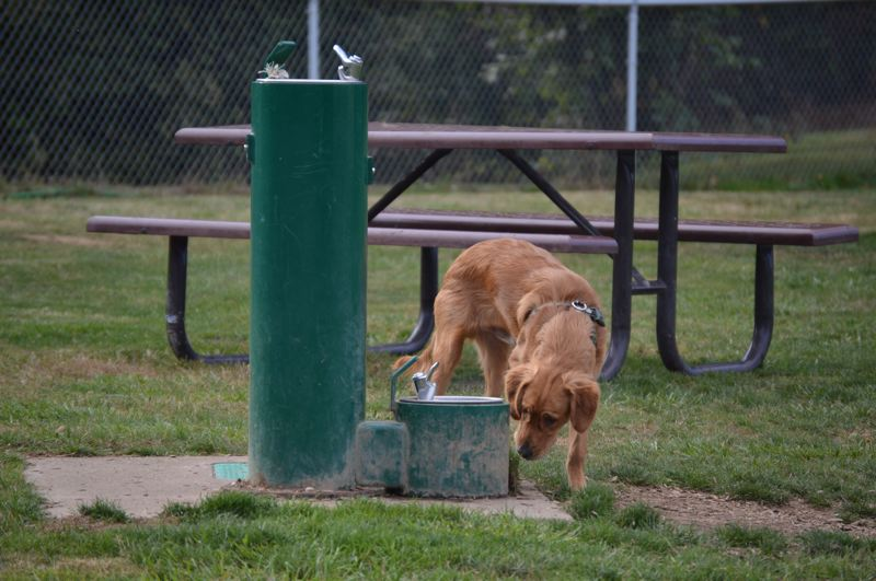 SPOTLIGHT FILE PHOTO - A dog sniffs out a water fountain at the Scappoose off-leash dog park in Veterans Park. The park will host a dog fair Saturday, Sept. 8.