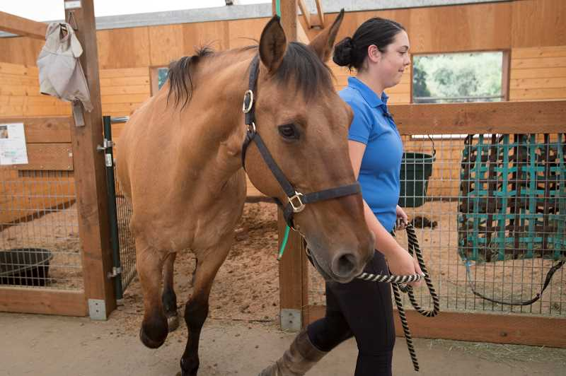 PAMPLIN MEDIA GROUP PHOTO: JAIME VALDEZ - Mackenzie Johnson leads Olin to the corral at Forward Stride. The former police horse now helps patients with trauma recovery and psychotherapy.
