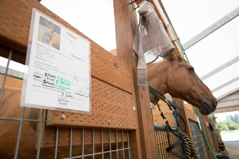 PAMPLIN MEDIA GROUP PHOTO: JAIME VALDEZ - Olin came to the Hillsboro facility in 2017, one of eight former Portland police horses who have moved on to new careers after the unit was cut due to budget constraints.