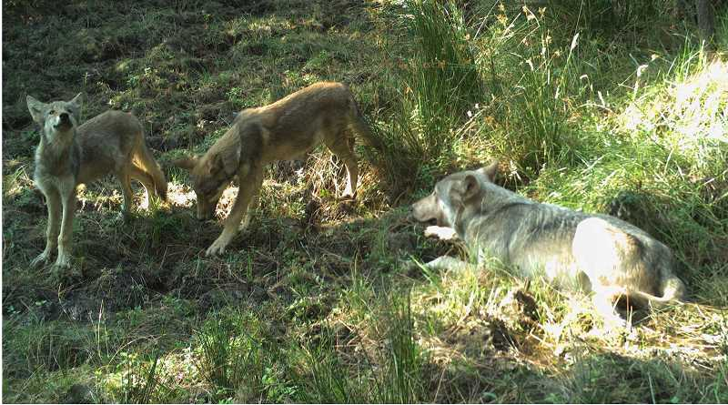 PHOTO COURTESY OF THE CONFEDERATED TRIBES OF WARM SPRINGS - Two wolf pups with the adult male of the pack are caught on a remote trail camera on the Warm Springs Reservation. The wolf pups are believed to be the first born on the reservation since the 1940s.