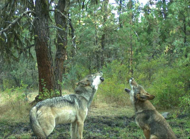 PHOTO COURTESY OF THE CONFEDERATED TRIBES OF WARM SPRINGS - A female gray wolf from the Warm Springs/White River pack seems to be caught on a remote trail camera teaching her pup, on the right how to howl. In August, the Confederated Tribes of Warm Springs' Branch of Natural Resources caught the photos of the two adult wolves and two pups, which are estimated to be 3 to 4 months old.