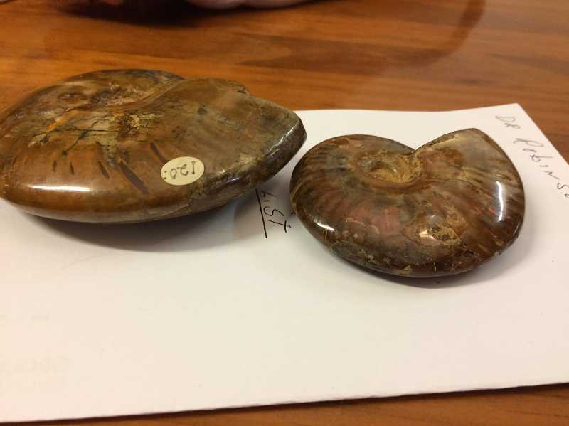 HERALD PHOTO: CAROL ROSEN - Pictured are two ammonites from Miller's collection.