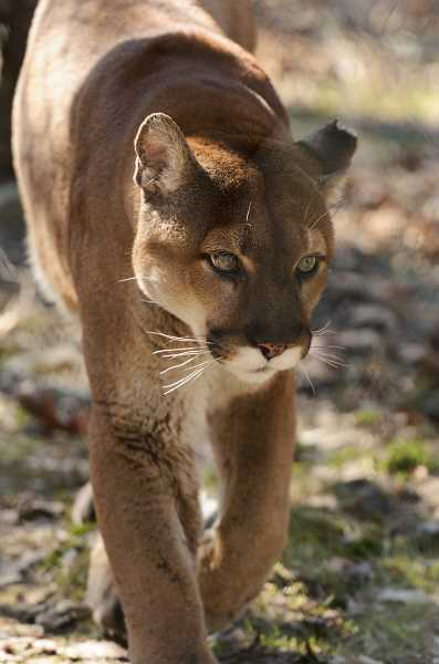 PHOTO BY ERIC KILBY ON FLICKR - A missing Gresham woman has been found dead, having injuries consistent with a cougar attack.