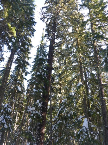 COURTESY OF BARK - A stand of trees in the proposed Crystal Creek Restoration Area, slated for a big timber sale.