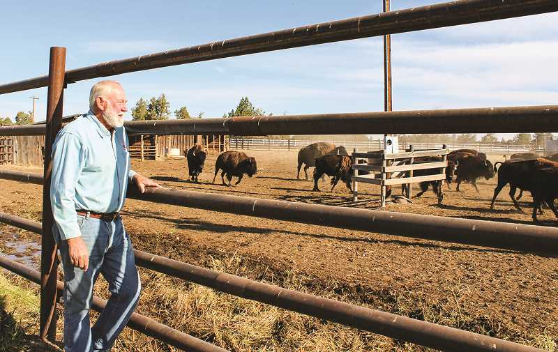 HOLLY SCHOLZ/CENTRAL OREGONIAN  - Steve Oberg looks on his bison herd at Powell Butte Bison Ranch. Bison have fascinated him since he was youngster in Montana.