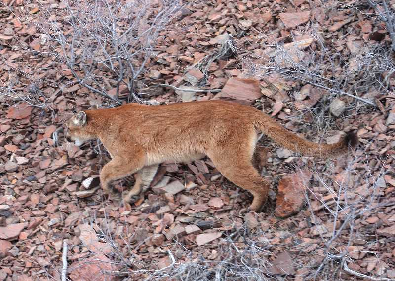CONTRIBUTED PHOTO: ODFW - Statewide the cougar population is around 6,600.