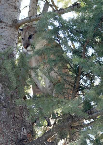 CONTRIBUTED PHOTO: ODFW - A cougar killed a person in Oregon for the first time in the wild.