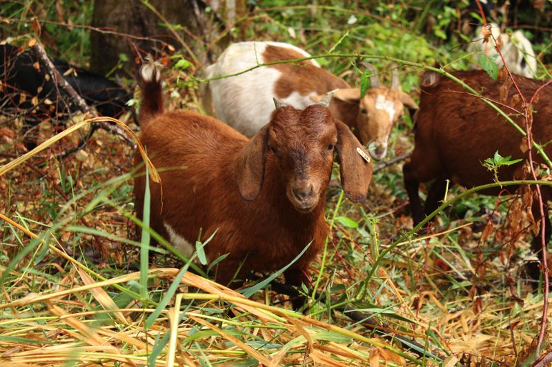 STAFF PHOTO: OLIVIA SINGER - The goats favor many native species including English ivy and blackberries.