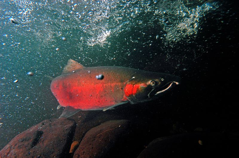 CONTRIBUTED PHOTO: OREGON DEPARTMENT OF FISH AND WILDLIFE  - A coho salmon makes its way up Cedar Creek on its way to the Sandy fish hatchery.