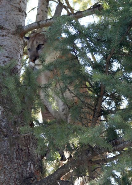 COURTESY: OREGON DEPARTMENT OF FISH AND WILDLIFE  - A treed cougar in the Sled Springs Unit of Oregon.