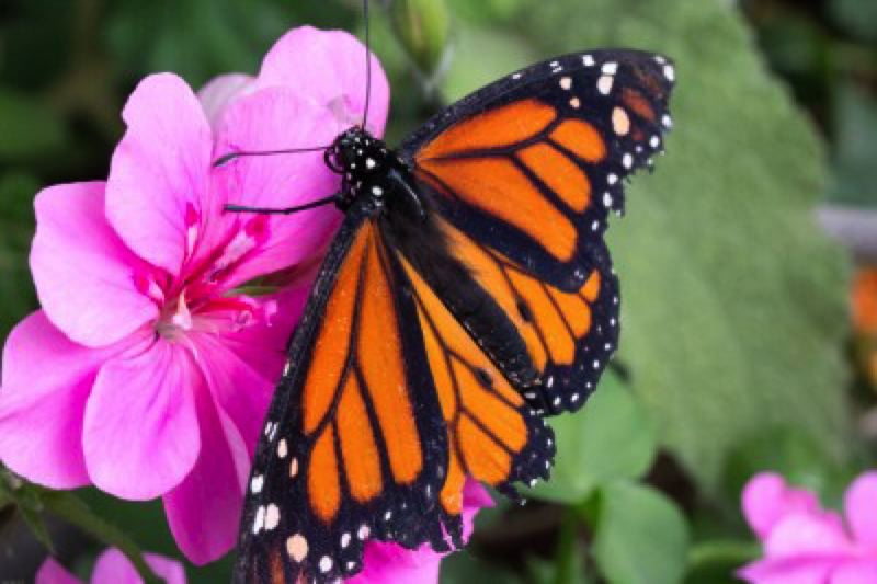 COURTESY: W LAUZON, FLICKRCC. - Environmentalists won a lawsuit forcing the federal government to decide by 2019 whether or not to list the once abundant Monarch butterfly as an endangered species.