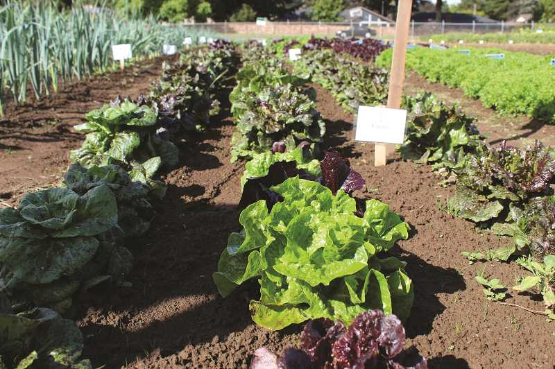 COURTESY PHOTO: NWREC - Lettuce varieties planted in organic soil for seed demonstration trials at NWREC.