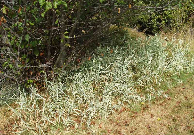 SUBMITTED PHOTO - Ribbongrass (pictured), reed canarygrass and yellow flag iris, all considered invasive, will be targeted for herbicide application in the Deschutes National Forest near the Metolius River.