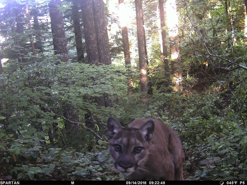 OREGON DEPARTMENT OF FISH AND WILDFLIE - A trail cam spots a cougar returning to the sight where Diana Bober was likely attacked by the animal.
