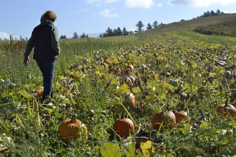 POST PHOTO: BRITTANY ALLEN - Shelley Burns at Burns Farm has hosted a pumpkin pick for five years, complete with tractor rides and visits with the farm character, Chester the donkey.