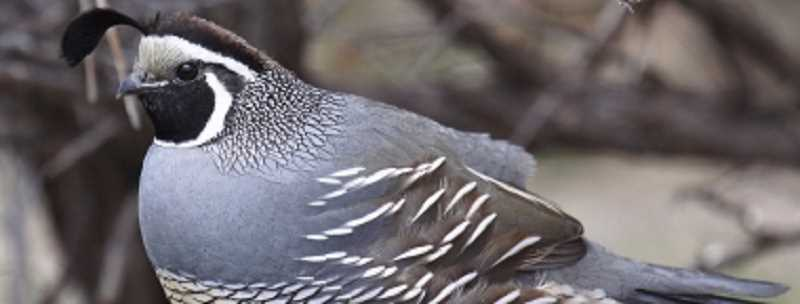 OREGON DEPARTMENT OF FISH AND WILDLIFE PHOTO - Statewide California quail populations continue to trend upward, exceeding the 10-year average by 33 percent.