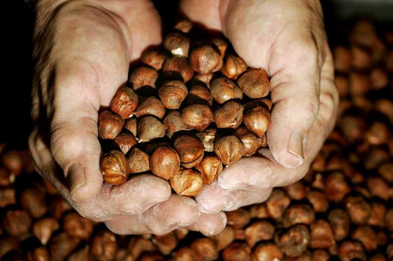 PHOTO COURTESY OF CAPITAL PRESS - The USDA predicts that this year's hazelnut harvest will increase from last year's 32,000 tons to 52,000 tons.