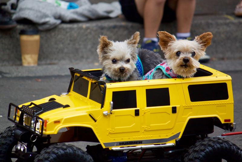 OUTLOOK PHOTO: CHRISTOPHER KEIZUR - These dogs rode in the Gresham Teddy Bear Parade in style.