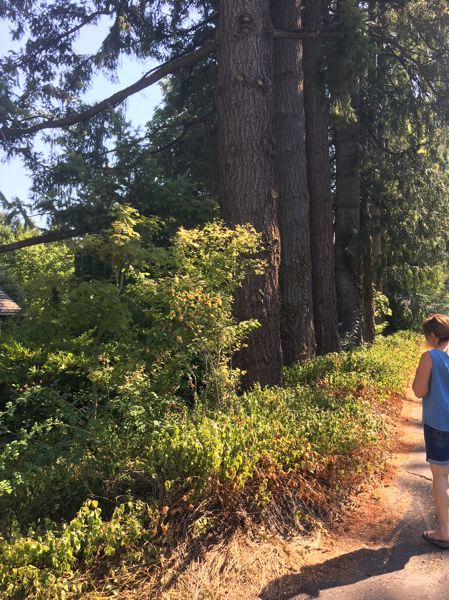 TIMES PHOTO: PETER WONG - Five Douglas firs are among 10 trees on Scott Brown's property on Southwest Menlo Drive that will be protected despite Beaverton's planned sidewalk on the east side.