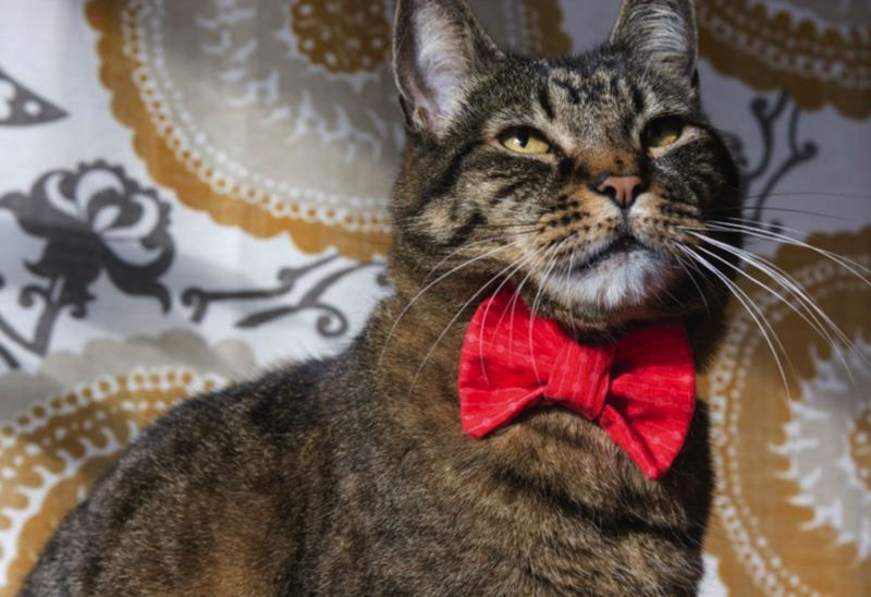 FILE PHOTO - This cat is wearing a bowtie.