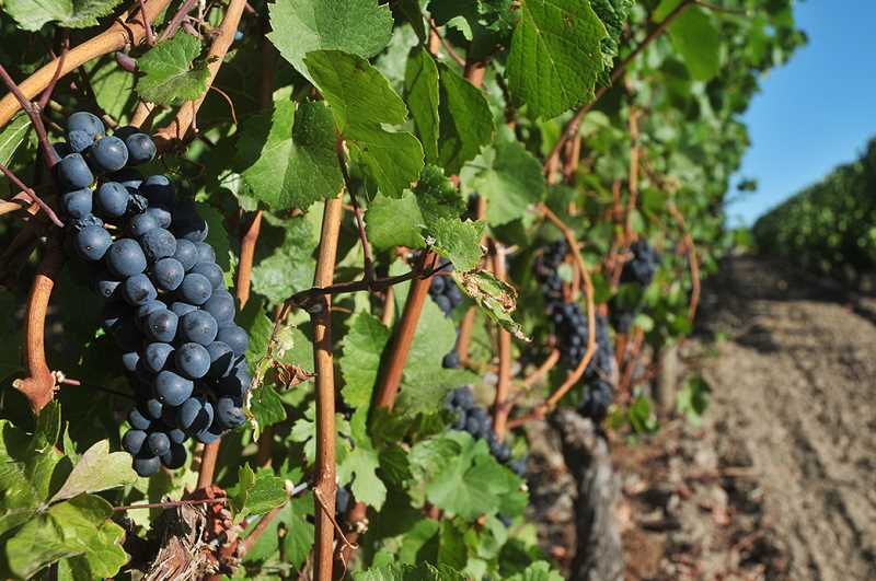 GRAPHIC FILE PHOTO - According to various reports, pinot noir that was made in California was discovered in Oregon with labels saying it had been made on the Oregon coast, despite that type of grape not growing there. A recent meeting at the U.S. Capitol saw experts testifying to the issue.