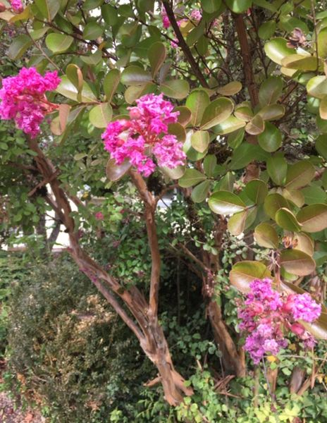 PHOTO: CYNTHIA ORLANDO - A long bloomer, Crape myrtle adds brilliant beauty to the fall garden.