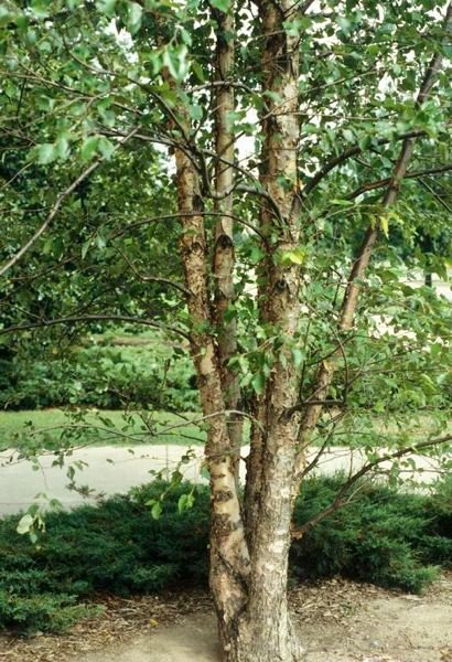 PHOTO COURTESY JOHN RUTER, UNIVERSITY OF GEORGIA, BUGWOOD.ORG - The lovely river birch is fast growing and has eye-catching, distinctive bark.