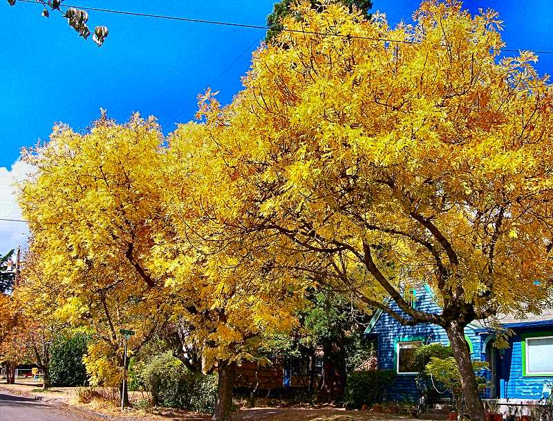 RITA A. LEONARD - Autumn transformed these yellow ash trees at S.E. 58th and Rhone Street.