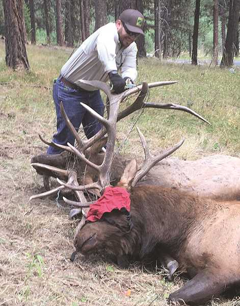PHOTO COURTESY OF ODFW - Oregon Department of Fish and Wildlife personnel responded to two bull elk that had been fighting and ended up tangled in wire fencing. One died and another was injured. This is not the only time fencing has resulted in the inadvertent death of big game in Central Oregon.