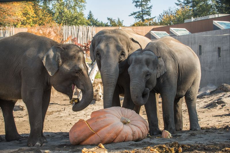 COURTESY OREGON ZOO - The Oregon Zoo released this photo of Chendra chowing down on a giant pumpkin with Rose and Lily during the Squishing of the Squash event on Friday, Oct. 19.