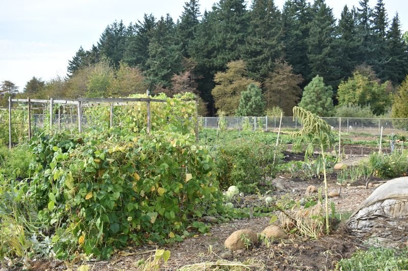 OUTLOOK PHOTO: TERESA CARSON - The garden, first planted in the spring, is yielding its first crops this fall.