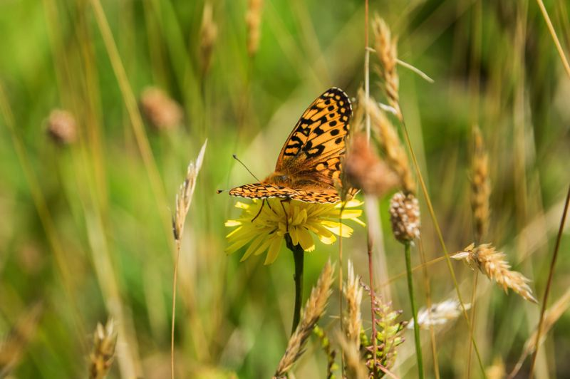 COURTESY PHOTO: KATHY STREET/OREGON ZOO - An Oregon silverspot butterfly seen in a meadow on the Oregon Coast. More than 3,800 silverspot eggs have been laid at the zoo's butterfly conservation lab during the past month.