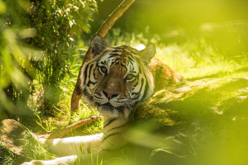 COURTESY PHOTO: MICHAEL DURHAM/OREGON ZOO - Amur tiger Mikhail, who was euthanized Tuesday, Oct. 30, was one of the oldest of his rare subspecies in the world.