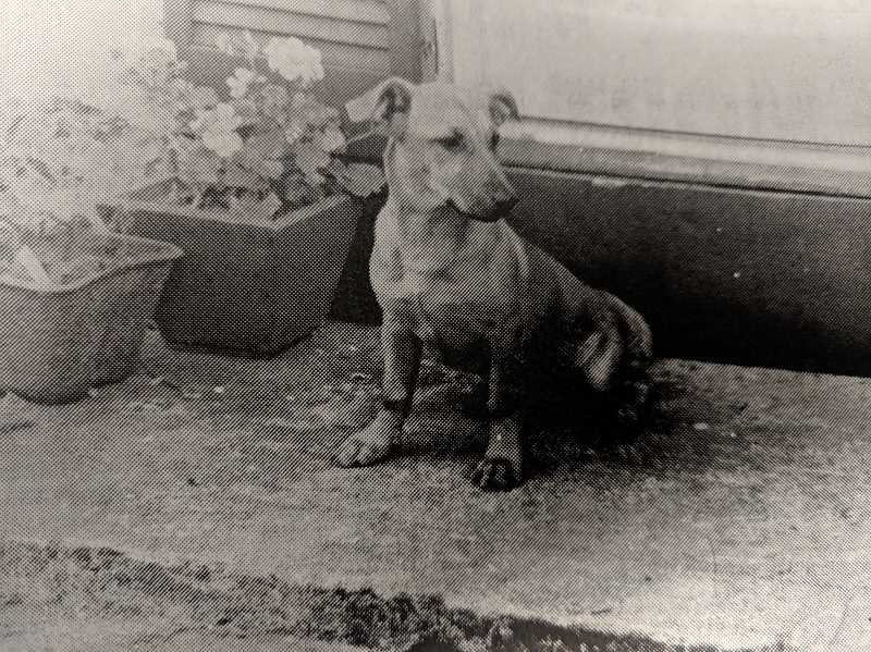 ARCHIVE PHOTO - In 1978, this dog was the newest addition to the Estacada newsroom. Newspaper staff were caring for the canine and hoping to locate its owner.