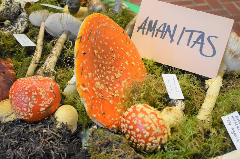 ESTACADA NEWS PHOTO: EMILY LINDSTRAND - Amanitas were one of many mushrooms on display at the Estacada Festival of the Fungus last weekend.