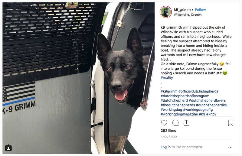 PHOTO: CLACKAMAS COUNTY SHERIFF'S OFFICE - K-9 Grimm went Hollywood Tuesday night, vaulting over fences in pursuit of a suspect in a neighborhood of riverside homes, a sucessful chase that included an unplanned swim in a fish pond.