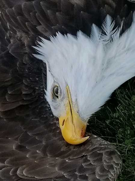 COURTESY PHOTO - This bald eagle was found dead in a field near West Union Road and Dick Road on Nov. 12. Bald eagles are protected under federal law and killing one comes with a $5,000 fine.