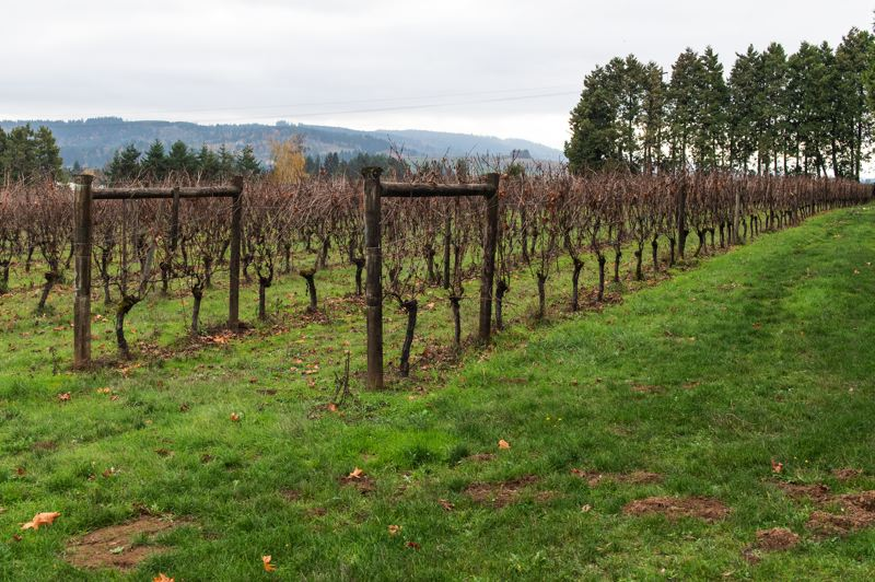 STAFF PHOTO: CHRISTOPHER OERTELL - Montinore Estate is a certified biodynamic winery south of Forest Grove.