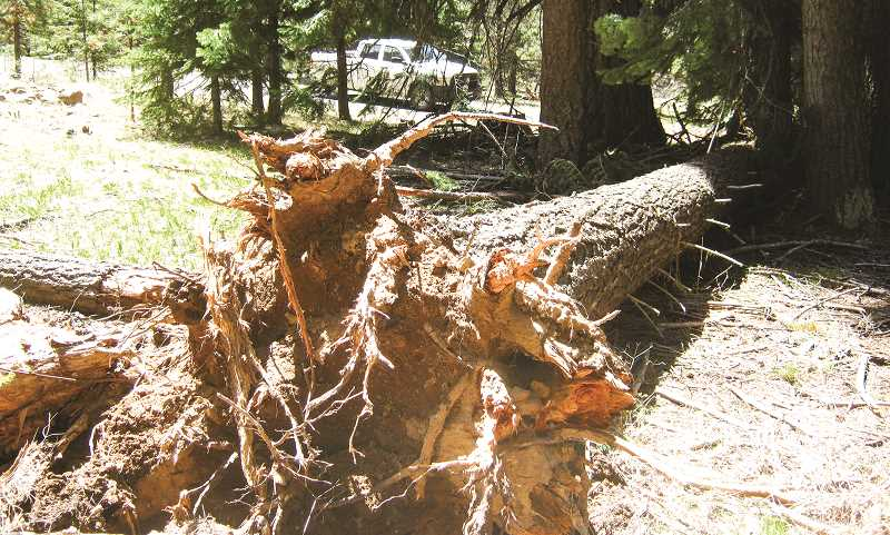 PHOTO COURTESY OF OCHOCO NATIONAL FOREST - The Natural Resource Committee is expected to discuss potential solutions to the laminated root rot problem in the Walton Lake area.