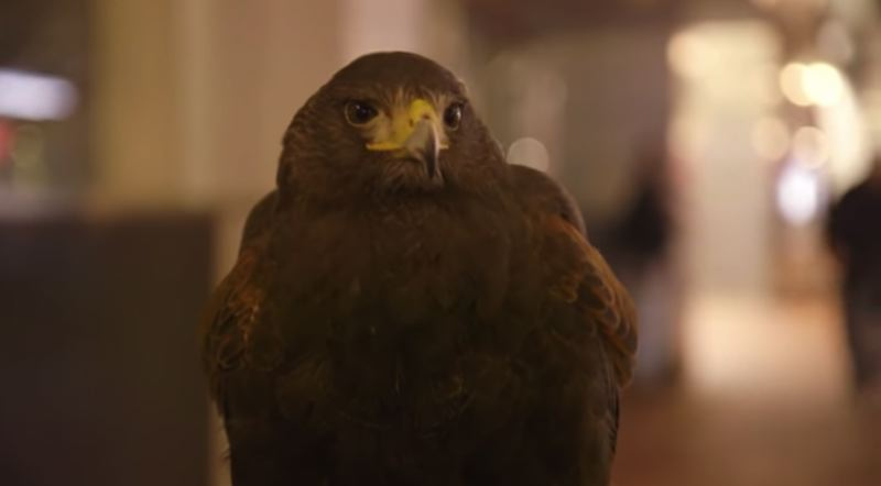 COURTESY TRIMET - This young Harris's hawk named Clive is on patrol for the 10,000 crows roosting in downtown Portland.
