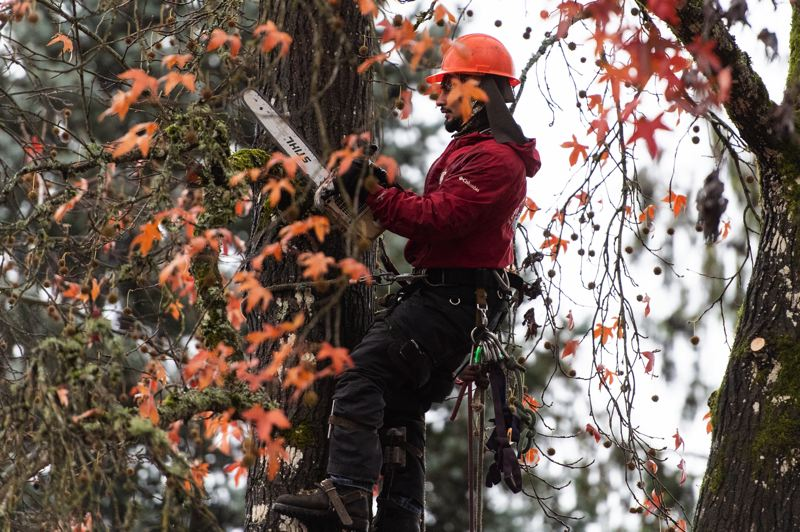 STAFF PHOTO: CHRISTOPHER OERTELL - A worker from Eduardo's Tree Service takes a saw to a sweetgum tree on the 1300 block of Hawthorne Street in Forest Grove on Tuesday, Dec. 11.